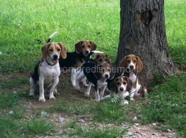 beagle-bunch
