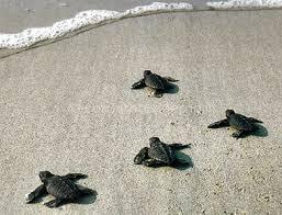 Paestum decine di tartarughe caretta caretta nate in for Luci per tartarughe