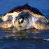 Foto-tartaruga-Caretta-caretta-9